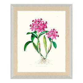 Bateman Orchid IV Print from the New York