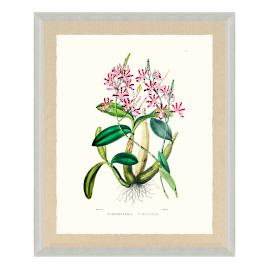 Bateman Orchid Giclée Print VIII from the New