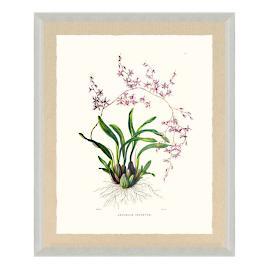Bateman Orchid VII Print from the New York
