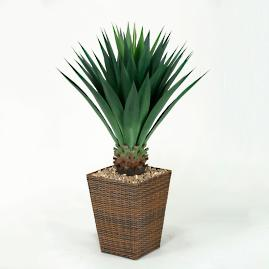 Large Agave Plant in Basket
