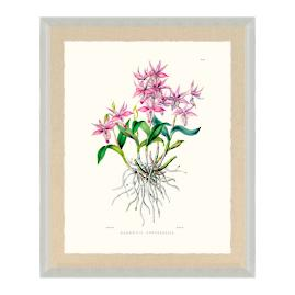 Bateman Orchid IX Print from the New York