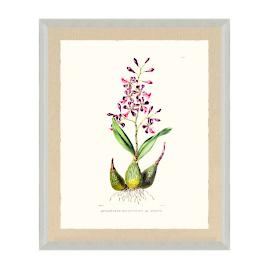 Bateman Orchid V Print from the New York