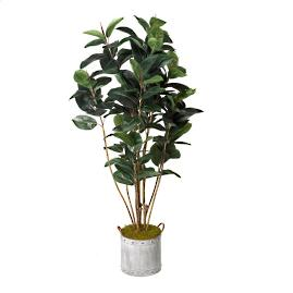 Rubber Tree in Round Planter