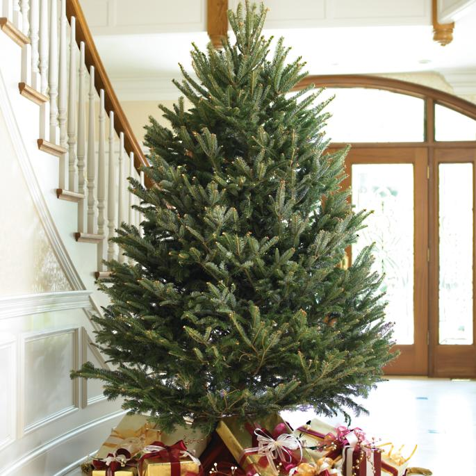 Real Fresh-cut Fraser Fir Christmas Trees | Frontgate